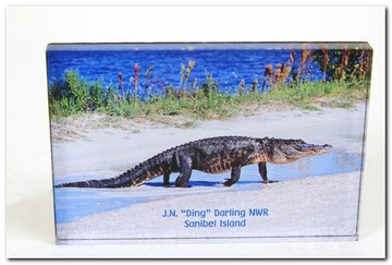 Post Card J.N. Darling NWR Alligator