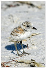 Baby Snowy Plover