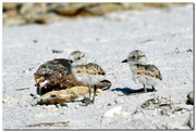 Pair of Snowy Plover Chicks