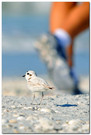 Snowy Plover and Foot