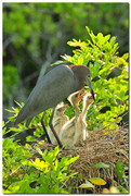 Blue Heron Chick