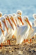 White Pelicans - Vertical