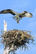 Osprey with Sheepshead