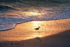 Shorebird Silhouette
