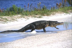 Alligator Walking II